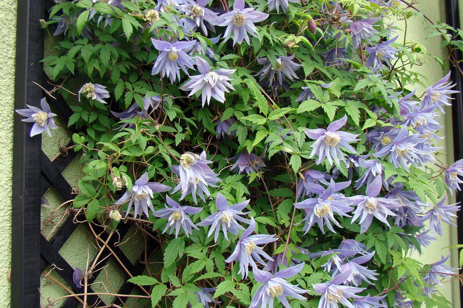 Лианы многолетники: названия вьющихся растений для сада, фото