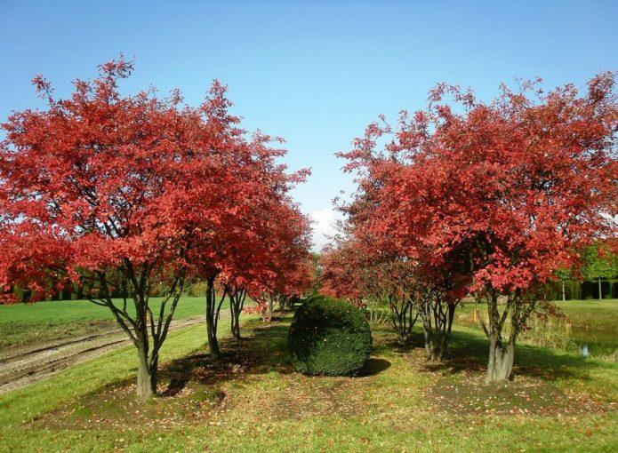 Сад из деревьев ирги