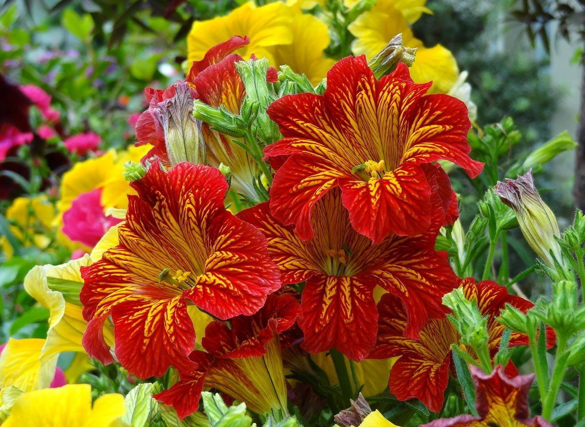 Посадка и уход за сальпиглоссисом: сорта, фото цветов