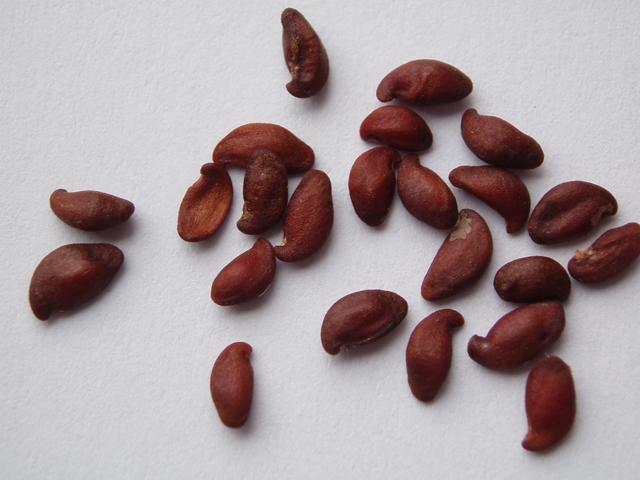 Семена ирги