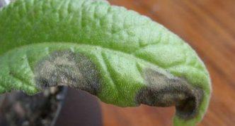 Серая гниль на листьях стрептокарпуса