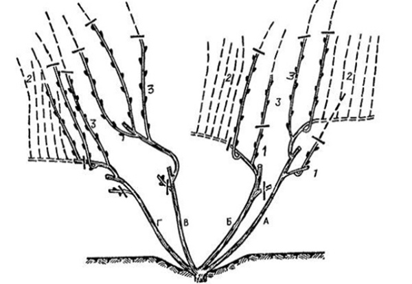 Схема обрезки старого куста винограда