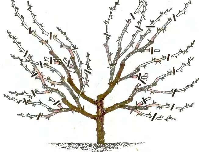 Схема обрезки войлочной вишни