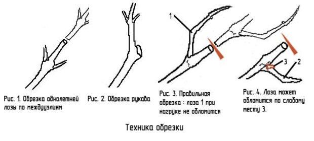 Схема правильной обрезки винограда весной