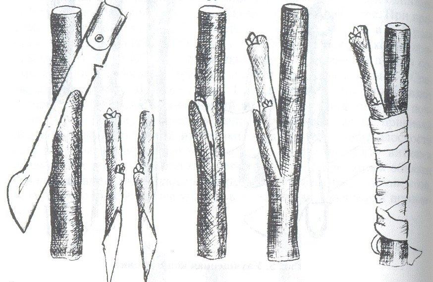 Схема прививки дерева в боковой зарез