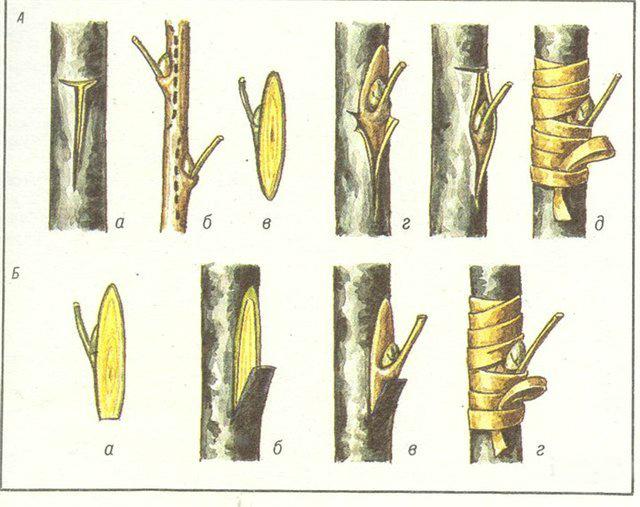 Схема прививки способом окулировки
