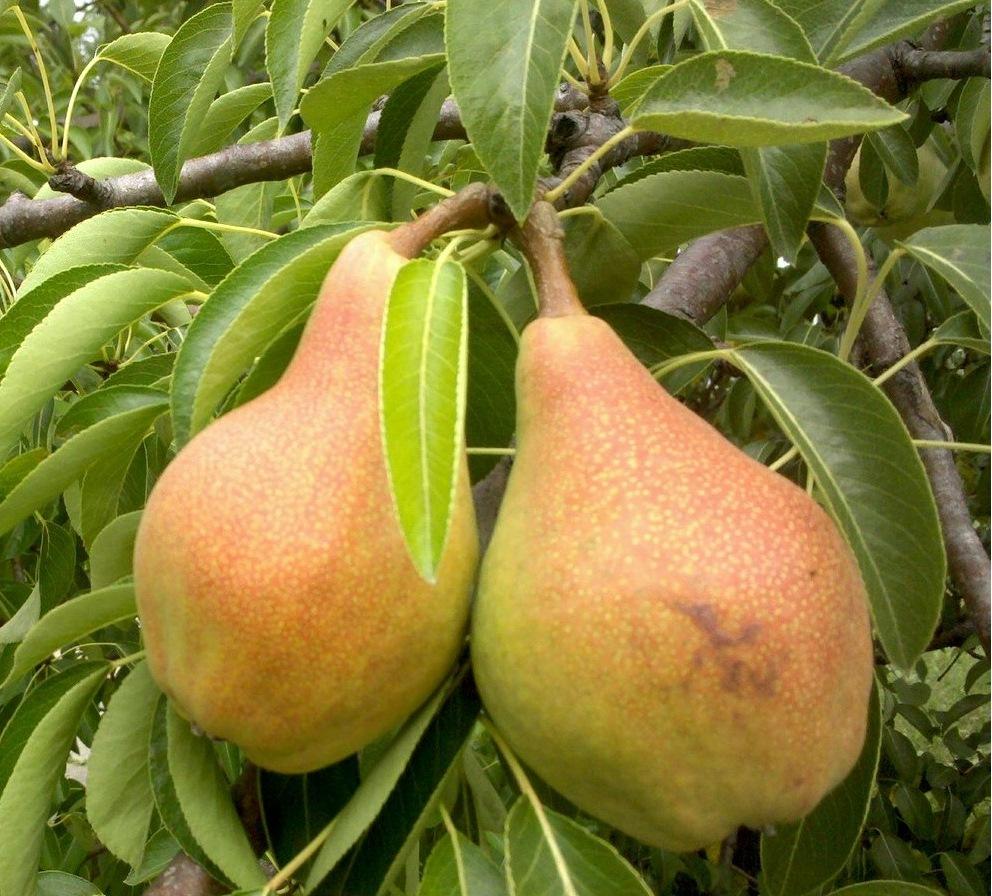 Всем хороша Лесная красавица: и плодами, и неприхотливостью, и зимостойкостью