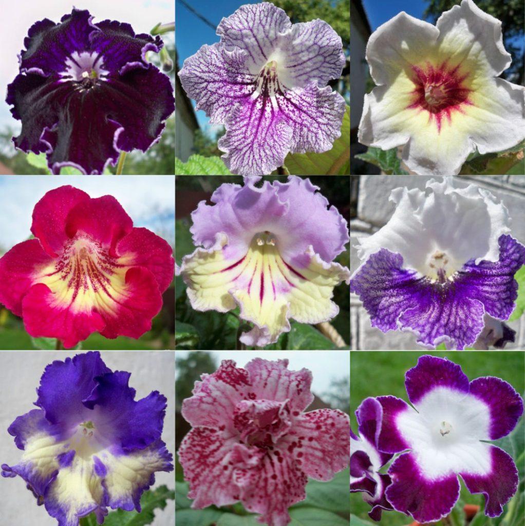 Сорта и расцветки цветов стрептокарпуса