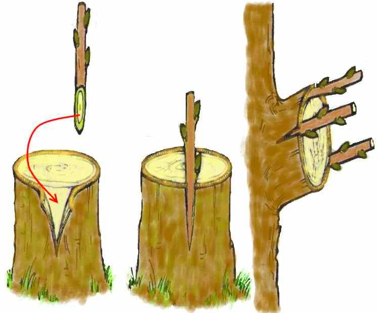 Способ прививки дерева за кору