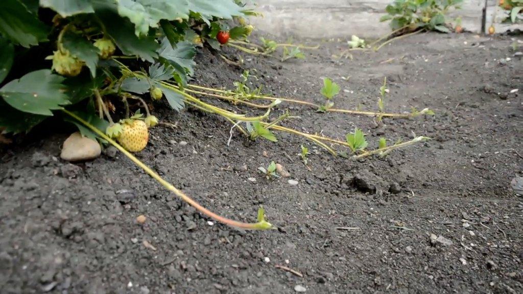 при какой температуре можно пересаживать клубнику осенью