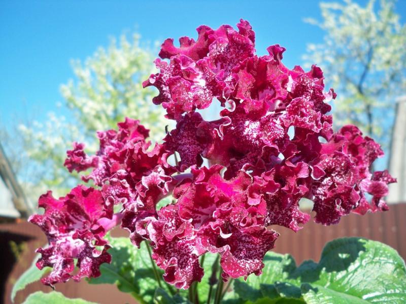 Простой и сложный стрептокарпус: выращивание и уход за цветком в домашних условиях