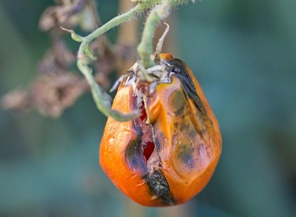 Стрик на помидоре