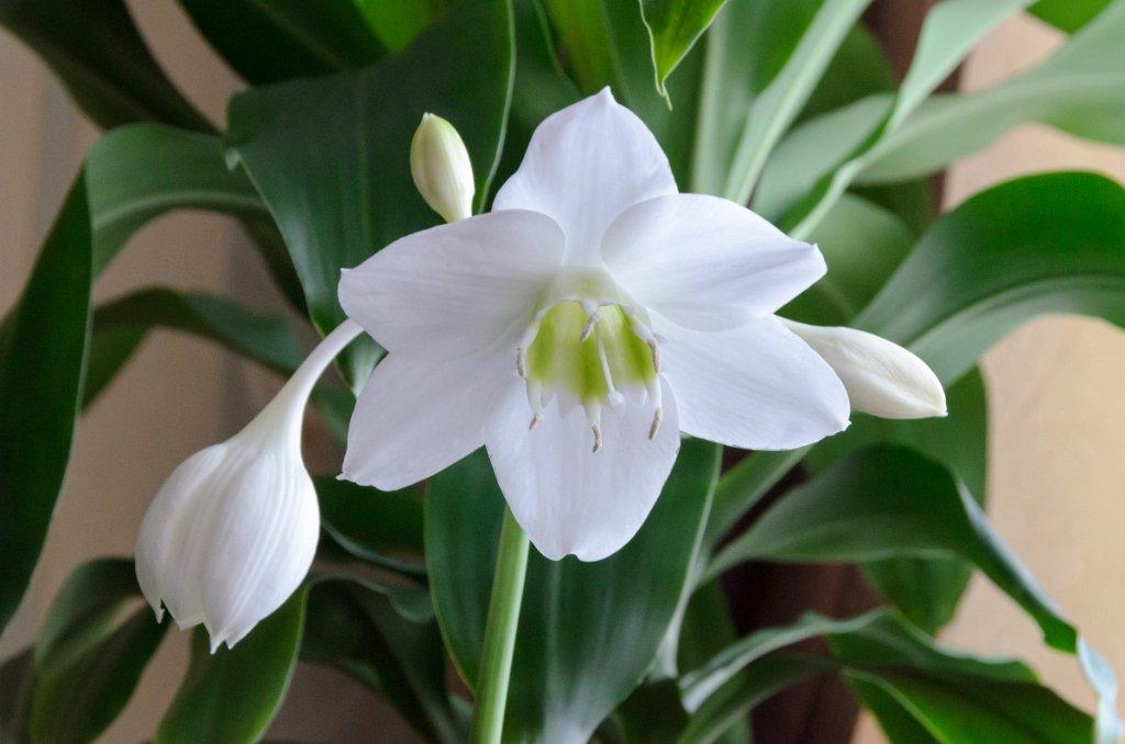 Луковичные комнатные растения: название, описание, фото