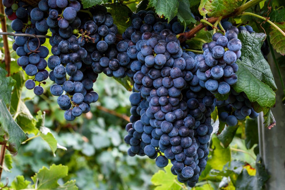 Все о посадке винограда саженцами: подготовка места, глубина и схема посадки, удобрения и полив