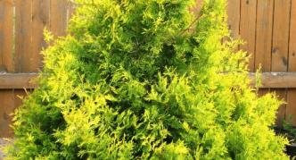 Туя Aureospicata