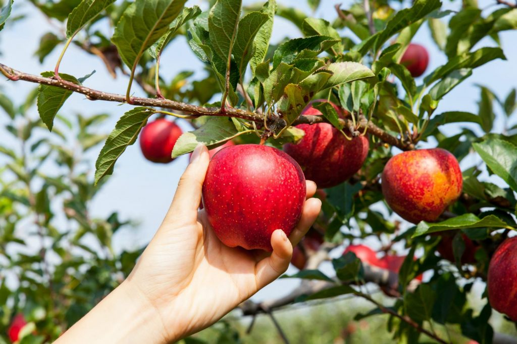 Уборка яблок в сентябре