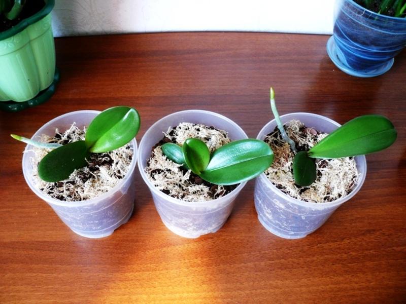 Как размножаются орхидеи в домашних условиях?