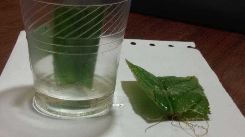 Укоренение листа стрептокарпуса в воде
