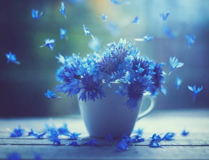 Васильки: виды цветка, описание василька-волошки