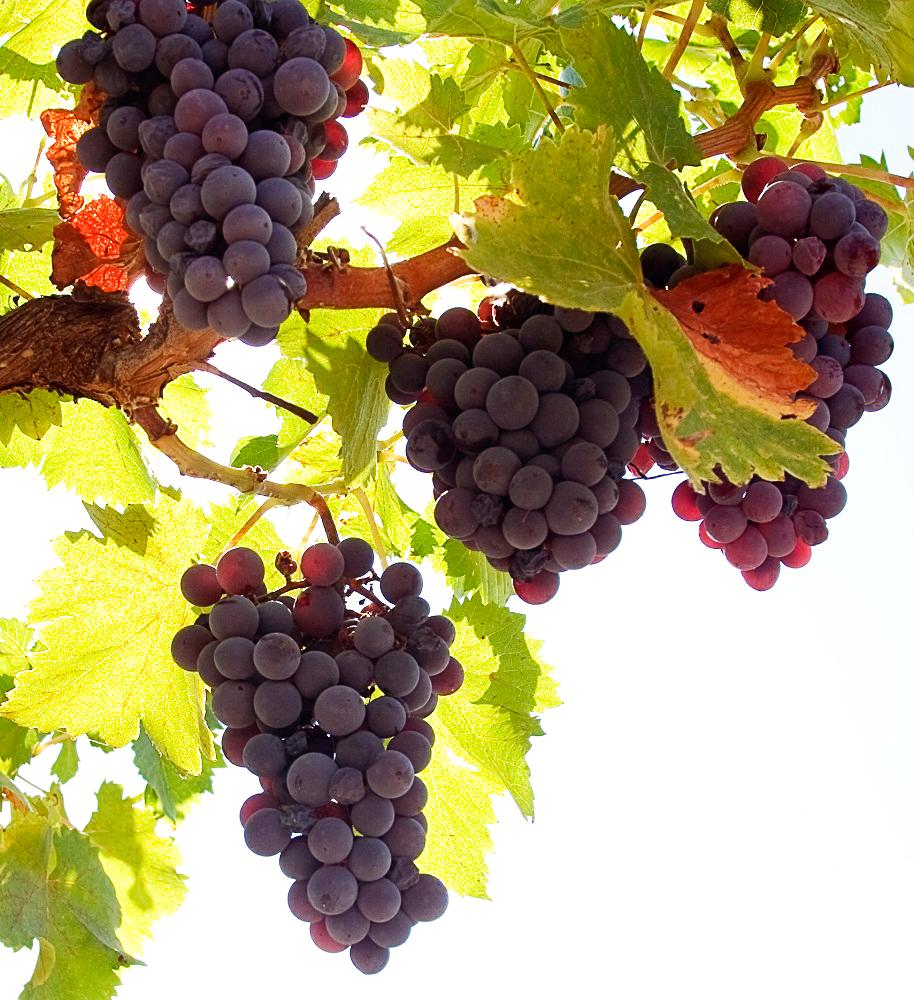 Виноград Арочный: описание сорта