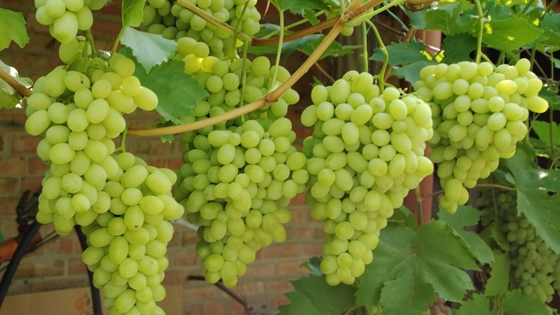 сорта винограда с фото для ростова на дону жизни помехи