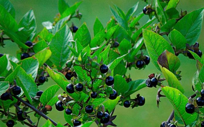 Белладонна ягоды на кусте