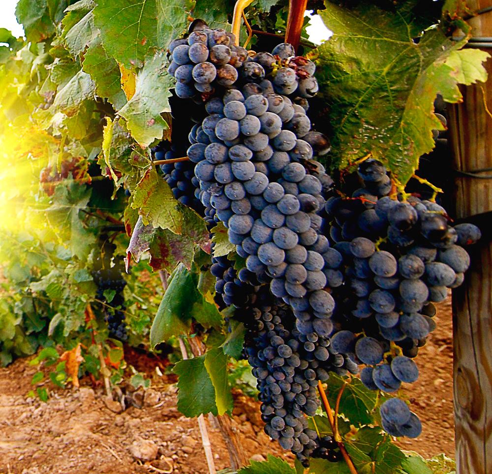 Особенности выращивания и размножения различных сортов винограда