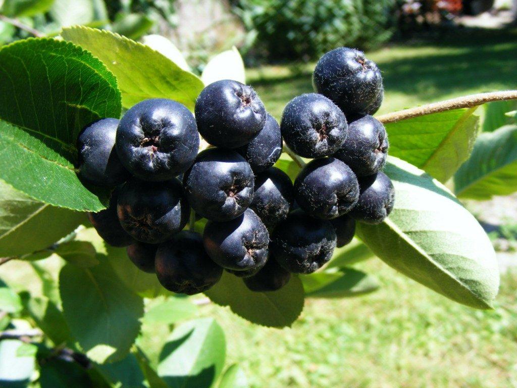 Ягоды черноплодной рябины на кусте