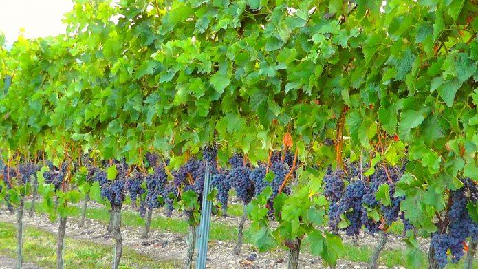 Здоровый виноград