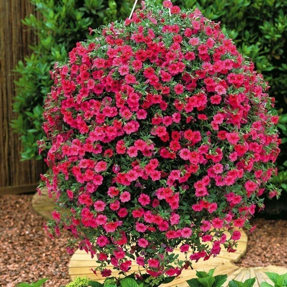 Выращивание ампельной лобелии: сорта, фото цветов